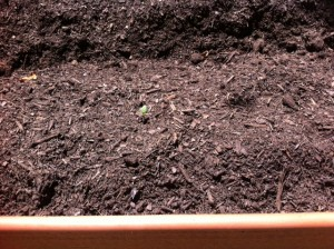 You can see the tiny green sprout if you squint really hard and look closely.