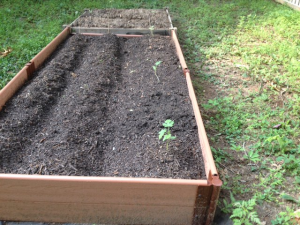 Watermelon plants in larger bed