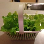 Basket of lettuce from my garden
