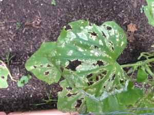 Cucumber plant leaf damage