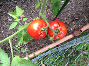 Spoiled tomatoes