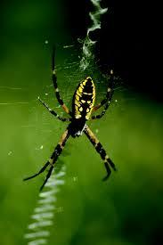 NC Garden Spider